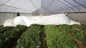 "After a particularly frigid night, staff at Green Edge Gardens pull back the row cover protecting a bed of greens. ""When I started farming in 1974, plastic greenhouses, drip irrigation and row covers didn't exist for us."" ~ Kip Rondy"