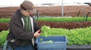 Kip Rondy trims and cleans tender salad greens heading to one the Garden's winter CSA customers.