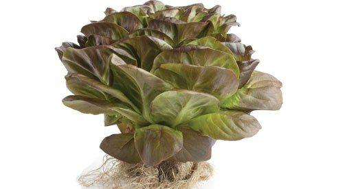 lettuce-db24f31d47e9e5f3407ad845448b6643