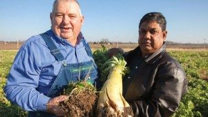 """Brandt's approach includes never tilling his ground and planting a variety of beneficial cover crops, including the large white """"tillage"""" radishes shown above, which naturally break up his soil."""