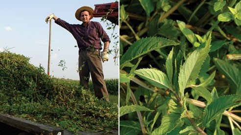 Ohio farmer Dan Tropea is winning over consumers with his locally grown tea.