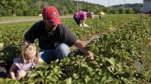U-pick custoamers in the Stacy's strawberry patch hunt among the plants for juicy berries.