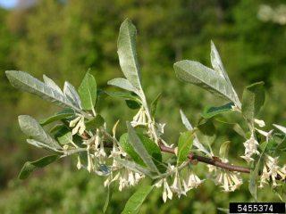 Invasive Species Autumn Olive