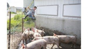 Center Brett slips over the gate to gather pigs for their daily walk in preparation for the the show ring.