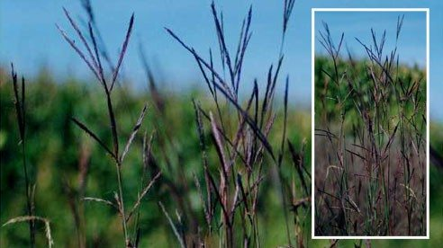 Big Bluestem,      photo credit: Jennifer Anderson @ USDA-NRCS PLANTS Database