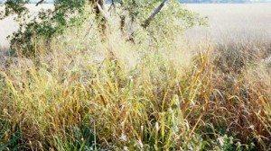 Switchgrass,    photo credit: Robert H. Mohlenbrock @ USDA-NRCS PLANTS Database / USDA SCS