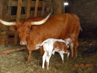 One of the Texas Longhorns You Can Visit.