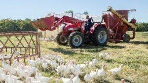 The Johnsons raise 300 turkeys annually.