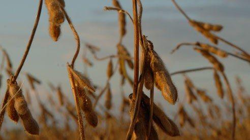 soybean_field-d256ba7195a34a396e9eb55e0eff2438