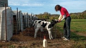 Chores on the farm include bottle feeding calves, herding cows and twice-a-day milkings.