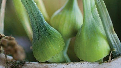 Garlic harvest typically begins around July 4.
