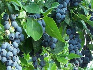 BlueberryBush