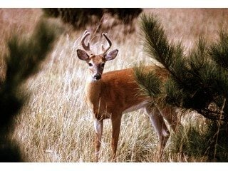 Deer,_Whitetail_023_320x2402