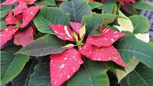 Poinsettias come in many colors and patterns, such as this one grown by students at Ohio State's Agricultural Technical Institute in Wooster. (Photo by Ken Chamberlain)