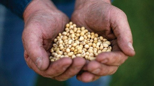 Working hands present a look at high oleic soybeans.