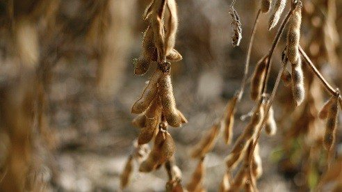 Soybeans, still in the pod, are left to dry in the field until harvest in October.
