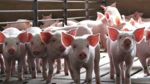 Learn more about Ohio hog farmers at ohiopork.org