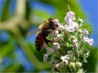 honey worker bee  photo credit: www.public-domain-image.com