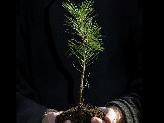 pineseedling_blog