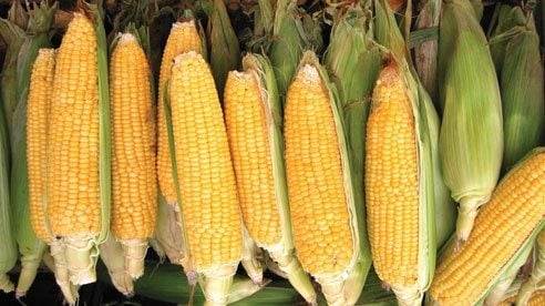 Summer sweet corn