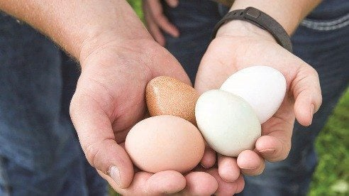 The eggs produced by their laying hens go to a local bakery run by Ashton's mother.