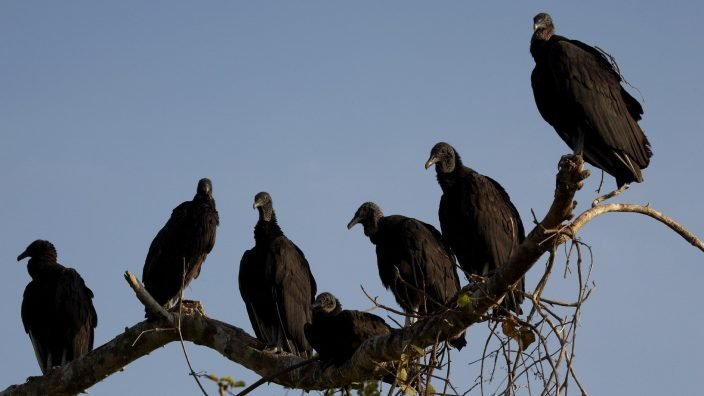 Vultures roosting, royal palm visitor center, anhinga trail, everglades state national park, taken in the early evening march 2006