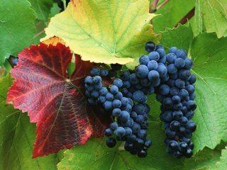 Grapes_320x240