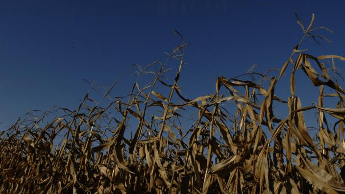 fieldcornharvest097