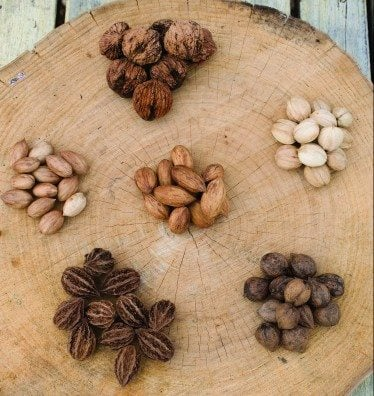 "(starting at 12:00 and going clockwise) ""Surprise"" black walnut, ""Yoder #1"" Hickory, Heartnut, Butternut, ""Heinke"" Hican. (Center) ""Burlington"" Hican. Cullman Nut Farm Joe Cullman-house: 740-666-2723, Cell: 910-388-6049 Marysville, Ohio.(Jodi Miller)"
