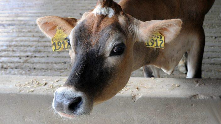 Grammer Dairy Jersey cow