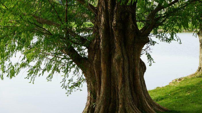 Dawes Tree1