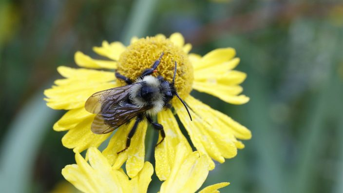 bee_on_sneezeweed