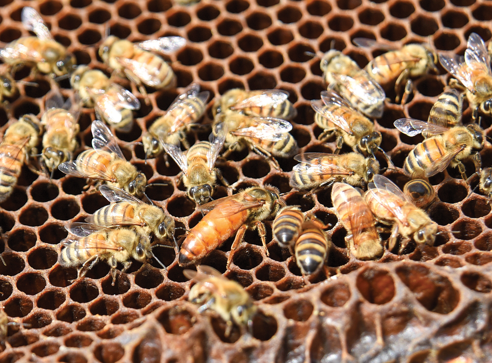 OFB_beekeeper_2074: The queen bee, with her solid bright orange back, is surrounded by female worker bees on a honeycomb at the apiary managed by Bethany Carlson, 20, in Edgerton, Ohio, Thursday, June 30, 2016. (Photo by Peggy Turbett)