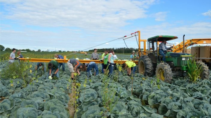 Cabbage_harvest_2016