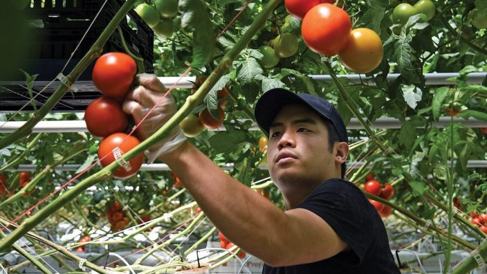 Harvester Andy Vilaysone hand-picks a bunch of vine-ripened tomatoes at the NatureFresh Farm site in Delta, Ohio, Wednesday, June 29, 2016. (Photo by Peggy Turbett for Ohio Farm Bureau)