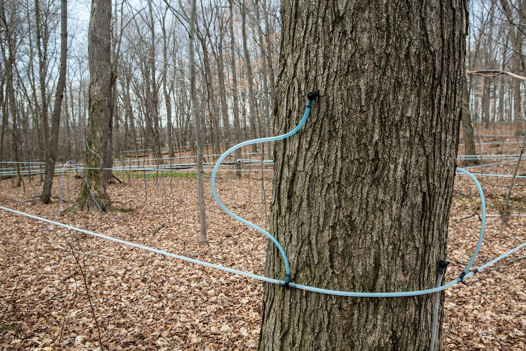 March 2016 - Maple Madness Driving Trail Misty Maple Sugar House 10644 W Middleton Rd Salem, OH 44460