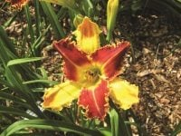 Black Horns daylily