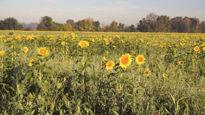 covercrops-sunflowers