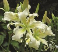 Heavenly Angel Ice daylily