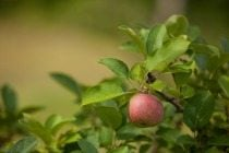 hirsch-fruit-farm-apple-tree