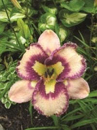 new-destiny-daylily