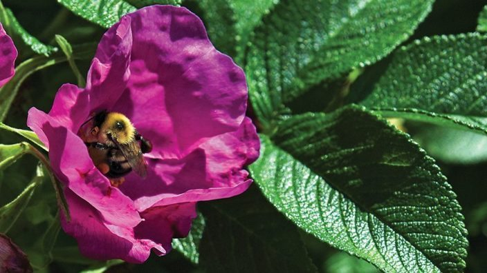 OFB_RoseFire_1852:  A  bee nestles in the center of a deep magenta rugosa rose  at the  Rose Fire nursery in Edom, Ohio, Wednesday, June 29, 2016.    (Photo by Peggy Turbett)