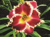 Green Revolution daylily