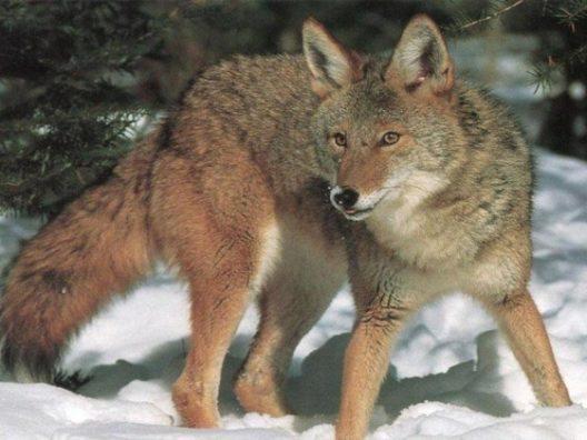 coyote-wallpaper-21