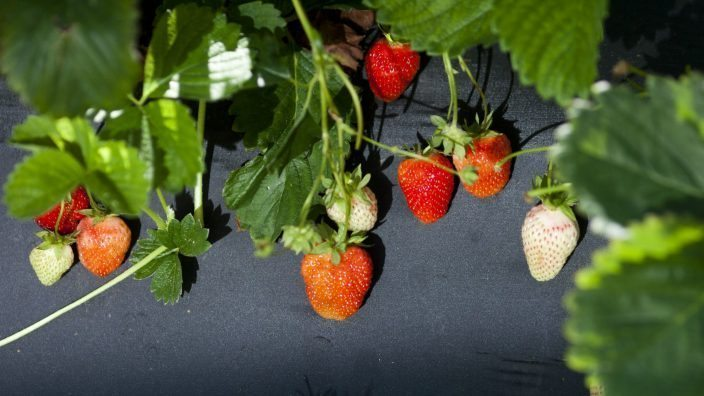 strawberries_in_field