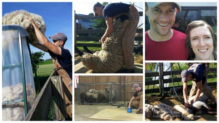 tot-sheepshearing