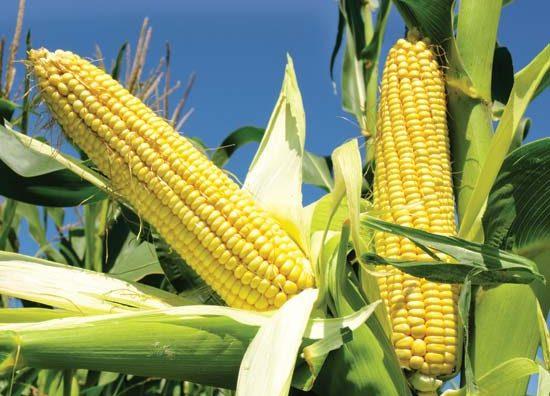 corn-jeff