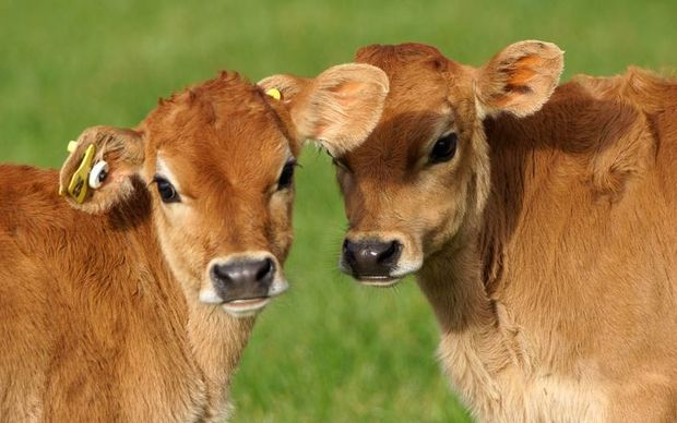 calfs