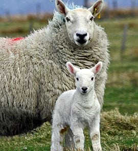 270px-cheviot_ewe_and_lamb