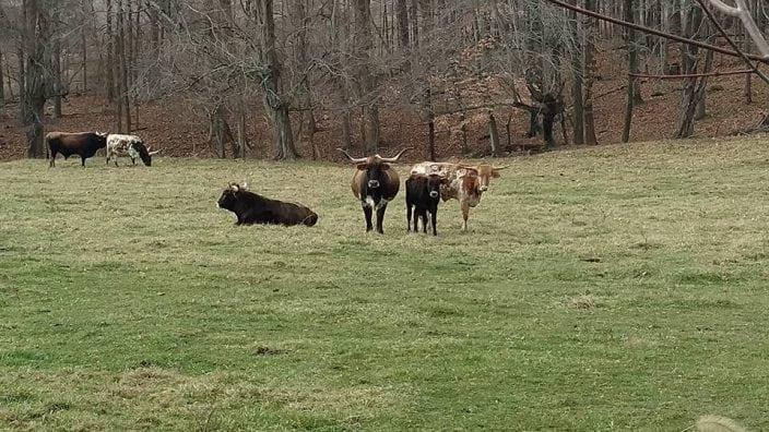 carpenter-cows
